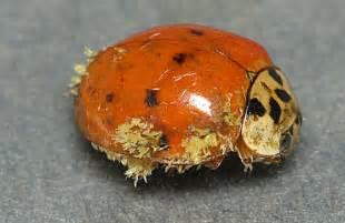 asian beetle allergy jpg 560x364